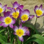 655 Tulipa saxatilis 5035